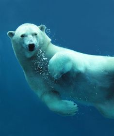 Google Image Result for http://www.protect-the-arctic.com/wp-content/uploads/polar-bear-underwater-photo.jpg