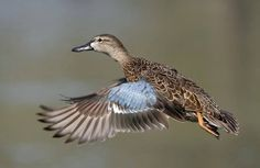 Blue-winged Teal Female Teal Duck, Blue Winged Teal, Blue Wings, Duck Hunting, Great Photographers, Outdoor Life, Best Dogs, Ducks, Birds