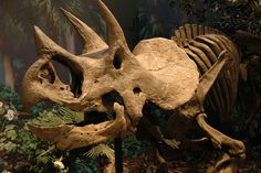Triceratops. Dinosaurs In Their Time, Carnegie Museum of Natural History. Image Credit: Desiree N. Williams, via Flickr.