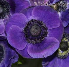 Purple anemone flower... part of one of my next tattoos. Also the flower in my wedding bouquet for my Dad.