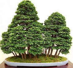 JPB:Bonsai Collection 10 | tuyama-hinoki.
