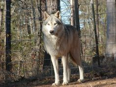 Sampson. Wolf Hybrids. Wolf Dog Mixed Puppies since 1973. Separate Geneologies From the Arctic Wolf, Tundra Wolf, British Columbia Wolf, Alaskan wolf. Black Bear Farm