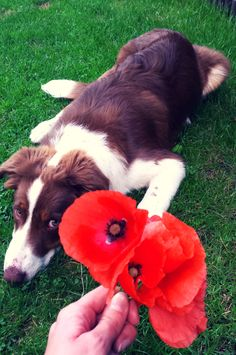Brando helped us picked those poppies specially for you :D #moremoi #brando #bordercollie   #poppies #poppy #flowers #wildflowers #walk #walkwithdog #nature #printedclothes #love #happy