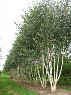 Betula utilis 'Doorenbos' 175-200 C15 BERK - Palmhunters