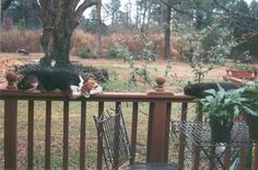 Darwin the Beagle would jump on the chair. onto the table, then walk the rail to the potting bench where the cats were fed. No feat was too great to reach the cat food. I caught him napping with one of the cats on this day. Miss the little guy, who made it to about 13-14 years old.