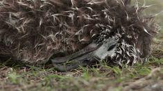 """Intoxiqués par les déchets ingurgités, les albatros meurent un par un sur l'atoll de Midway, au milieu du Pacifique Nord. Les courants tournants et les vents créent un tourbillon dans lequel s'agglutinent des tonnes de déchets qui double tous les dix ans pour atteindre aujourd'hui la superficie de la France. """"Midway"""" est un documentaire aux images spectaculaires et terrifiantes"""