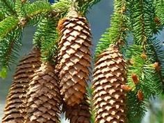 Pine Cones art prints Conifer Pine Tree Landscape Baslee Troutman ...fineartamerica.com