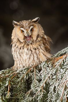 Long-eared Owl by Robert Adamec. / For photography advice check www.amateurnikon.com
