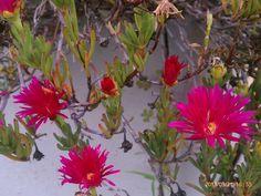 Flowers. Urubamba, Peru.