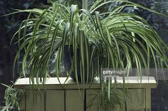 Spider Plant (Chlorophytum) in blue glazed pot on wood stand at window