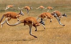 Bing Image Archive: Red Kangaroos (macropus rufus) hopping in the Australian outback (© Gerard Lacz/Age Fotostock)(Bing Australia) Kangaroo Jumps, Red Kangaroo, Amphibians, Reptiles, Wallpapers Wallpapers, Australia Kangaroo, Bird People, Australia Animals, Parc National