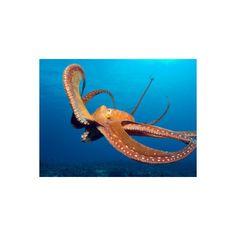 Day Octopus, near Kona, Big Island, Hawaii, USA Photographic Wall Art... ($40) ❤ liked on Polyvore featuring home, home decor, wall art, octopus wall art, octopus home decor, photography wall art and mounted wall art