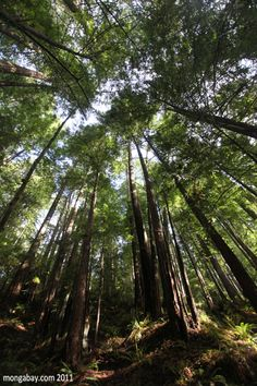 Redwood forest, Mendocino, California-some of the biggest trees you will ever see in your life