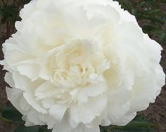 Ann Cousins - Late Lactiflora, double, white, large full double flowers, lovely rose fragrance, stems need support, American Peony Society Best in Show - Grand Champion 1954,  (Cousins, USA, 1946). www.peonyshop.com