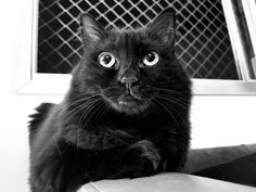 Black cat. Billie. Gata.