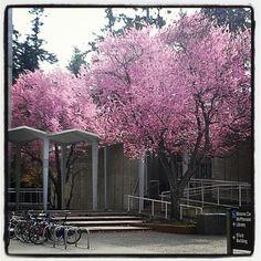 Cherry blossoms outside the Elliott building.