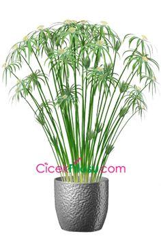 Japon Şemsiyesi Çiçeği Bakımı, Yetiştirilmesi, budanması, sulanması, toprak, vitamin, ışık, ve rüzgar faktörlerine karşı direnci.