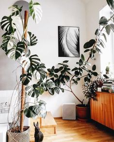 Tall Plants - monstera and rubber plant The Effective Pictures We Offer You About house plants decor bohemian style A quality picture can tell you many things. You can find the most beautiful pictures Rubber Plant, Rubber Tree, House Plants Decor, Plant Decor, Indoor House Plants, Interior Plants, Diy Interior, Interior Design, Scandinavian Interior