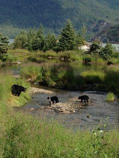 Black Bears at Steep Creek #juneau #travel #alaska