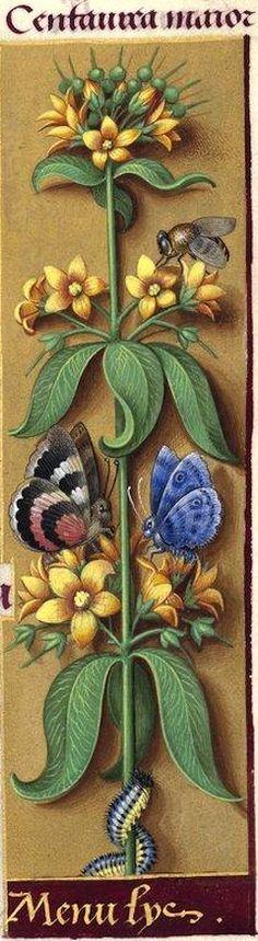 Menu lys - Centaurea maior (Lysimachia vulgaris L. = grande lysimaque, corneille) -- Grandes Heures d'Anne de Bretagne, BNF, Ms Latin 9474, 1503-1508, f°63r