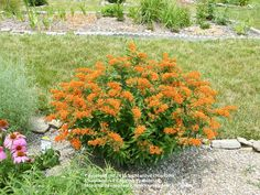 butterfly weed - Yahoo Image Search Results
