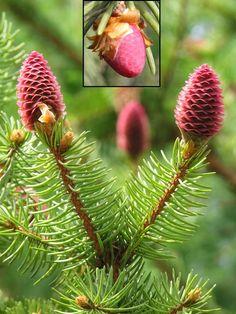 http://drzewa.nk4.netmark.pl/zasoby/atlas/swierk/swierk_pospolity/swierk_pospolity_651a.jpg