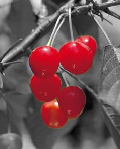 No:26 of 33 Awesomely Cool Color Splash Pictures   Ripe Red Cherries