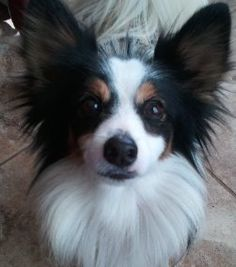 Papillon Haven Rescue - Papillons for Adoption www.paphaven.org