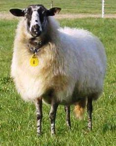 Schoonebeek Sheep of the Netherlands
