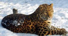 Amur leopard, Russia