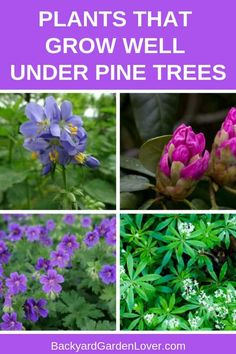 If you need plants that can grow under pine trees, you'll be pleasantly surprised to see this list. You can grow some beautiful flowers, that not only look good, but some even smell good. You have options of flowers, shrubs and cover grounds. Take a peek Plants Under Trees, Trees To Plant, Container Gardening, Gardening Tips, Organic Gardening, Kitchen Gardening, Gardening Supplies, Growing Flowers, Planting Flowers