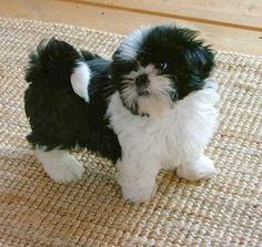 Shih Tzu, black & white...cutest thing ever! I want!! Looks much like my Quincy only is a tri-color.....has some brown too.