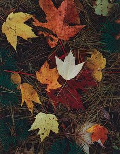 Eliot Porter: Autumn Leaves, N.H., 1956.