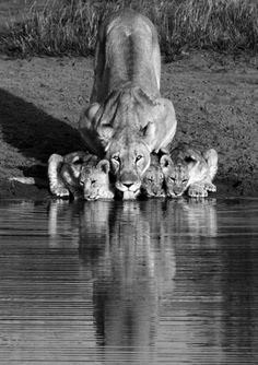 Mama lion & cubs getting a drink- Inspiration