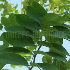 image de Robinia pseudoacacia Purple Robe Plant Leaves, Photos, Purple, Plants, Image, Gardens, Index Cards, Dress, Pictures