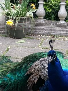 Mo the Toe. The friendly peacock.  'Well Hello' photographer, Lindsey Piper