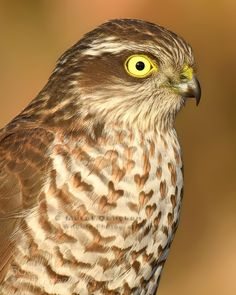 Eurasian Sparrowhawk by muratca Sparrowhawk, Birds Of Prey, Nikon, Cool Photos, Owl, Ankara, Animals, Instagram, Animales