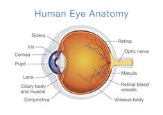 Parts Of The Eye Diagram And Function Carling Switches Wiring 10 Best Structure Images Human Anatomy