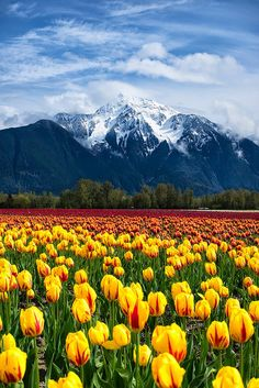 Chilliwack, BC, Canada-tulip fields in spring Places Around The World, Oh The Places You'll Go, Around The Worlds, Beautiful World, Beautiful Places, Landscape Photography, Nature Photography, Tulip Fields, Belle Photo
