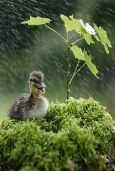Duckling in the Rain