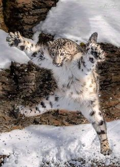 A leaping snow leopard - Animals Cute Funny Animals, Funny Animal Pictures, Cute Baby Animals, Animals And Pets, Cute Cats, Nature Animals, Beautiful Cats, Animals Beautiful, Gato Grande