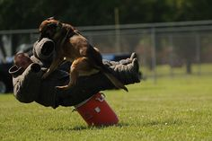 Military Working Dog Breston subdues a simulated uncooperative suspect during a K-9 competition May 17, 2014, at Scott Air Force Base, Ill.#USAF