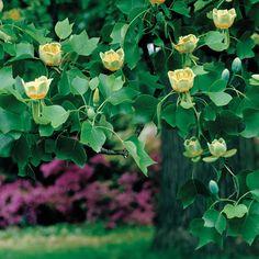 Tulip Tree - Trees - Van Meuwen