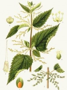 Even the ancient Greeks had used nettle in order to solve allergy and eczema on the skin. Thanks to silicon, nettle effectively leaflets eczema, acne, and fungal infections of the skin. Botanical Drawings, Botanical Illustration, Botanical Prints, Illustration Botanique, Home Garden Plants, Gras, Medicinal Plants, Perennials, Herbalism