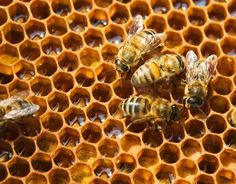 Initiation apicole au coeur d'un rucher canadien avec Xavier. Découverte et dégustation de miels!  Welcome to Xavier's bee farm in Quebec! Discover the fabulous beekeeping world and taste delicious honey! http://www.good-spot.com/fr/pages/initiation-apicole-a-30min-du-vieux-quebec-et-20min-des-ponts-spot-4613.php