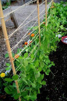 June sugar snap pea vines now 18 tall and thriving Garden vines Raised Vegetable Gardens, Vegetable Garden Planning, Veg Garden, Vegetable Garden Design, Garden Trellis, Vegetable Gardening, Gardening Tips, Garden Shrubs, Container Gardening