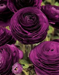 Ranunculas: Purple flowers almost look like they're made out of paper