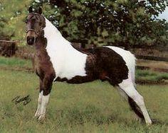 American Shetland Pony | Linpacojo's Geronimo by Michigan's Aquanaut x Michigan's Future Star ...