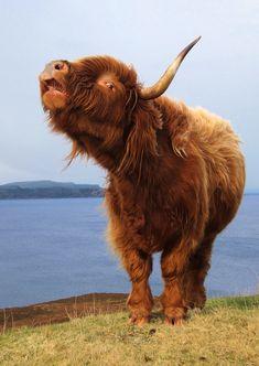 Highland cow on the coast road. Latest Torridon & Shieldaig photos - Steve Carter