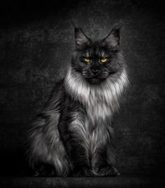 GORGEOUS SMOKEY BLACK AND SILVER MAINE COON♥
